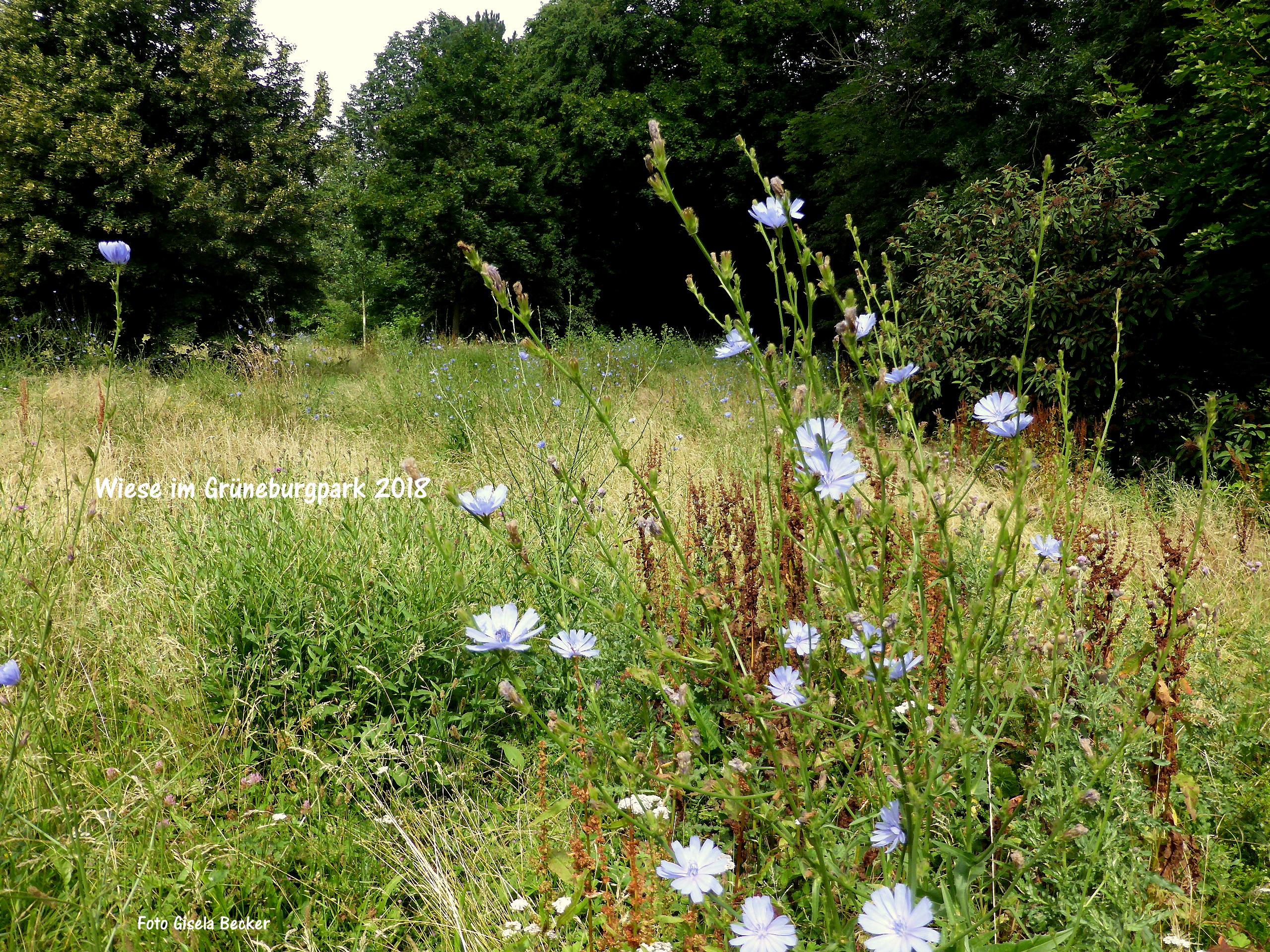 Blumenwiesen Droht Schon Jetzt Die Mahd Grueneburgparkinitiative